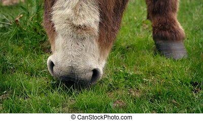 Closeup Of Donkey Eating Grass - Closeup shot of donkey...