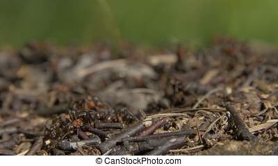 Close-up wild ants swarming around their anthills. Anthill...