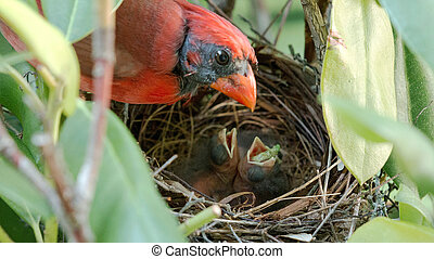 Newborn bird with a worm in its mouth with father watching...