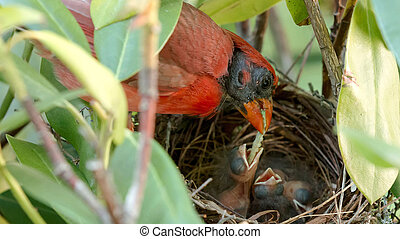 Two day old bird being fedd a worm by its father - A very...