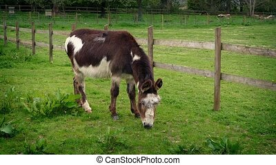 Donkey Eating Grass On The Farm - Donkey grazes in paddock...