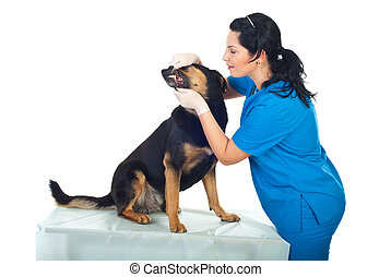 Doctor veterinary examine teeth dog - Smiling veterinary...