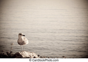 Juvenile Seagull on the Rocks - A young juvenile seagull...