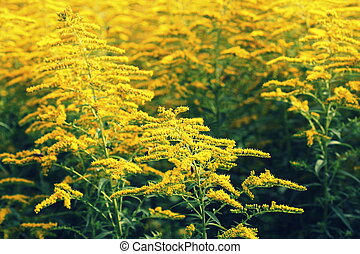 Blooming goldenrod. Solidago, or goldenrods, is a genus of...