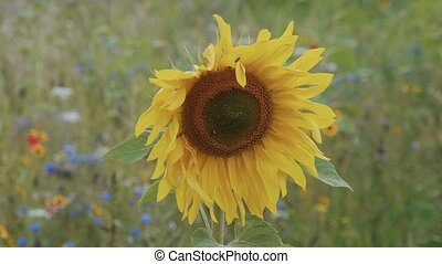 Close Up view on a sunflower in the fields