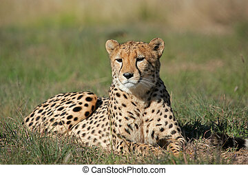 Cheetah Acinonyx jubatus lying in the grass, South Africa