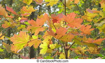 Bright red and yellow leaves of a tree a maple in sunny...