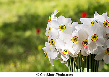 Bouquet of small white daffodil on nature background.