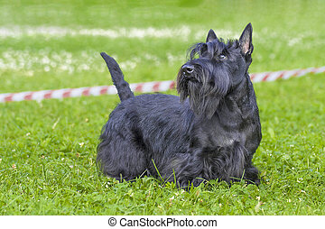 Schnauzer mittel Close-up