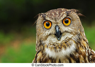 Curious  European eagle-owl (bubo bubo)