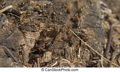 Ants in nature. Teamwork: Black and Red Ants on Wooden...