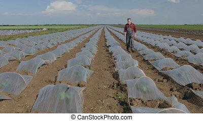 Farmer examining watermelon field - Farmer examining...