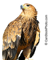 young brown eagle sitting on a support isolated over white...