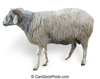 sheep, sobre, branca, isolado