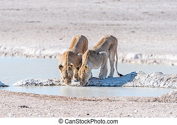 Female African Lions, Panthera leo, drinking water at a...