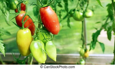 Closeup of red tomatoes . - Big red tomatoes hanging in...