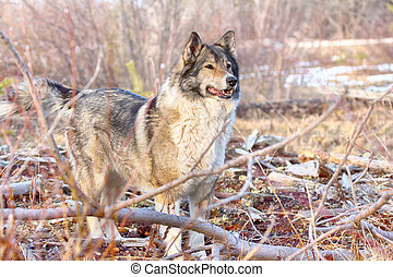 The East Siberian Laika (related breed husky). Hunting scene...
