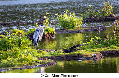 Great Blue Heron Standing on an island in the Chesapeake Bay