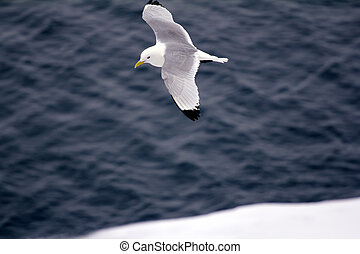 Kittiwakes are one of few bird species that fly to North...