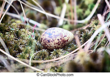 Cryptic painted (mottled) egg of European snipe - Eggs of...