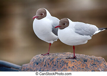 Two black-headed gulls are almost indistinguishable from...