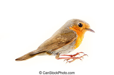 Robin (redbreast, Erithacus rubecula) is earliest and latest...