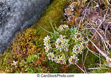 Scurvy grass (Cochlearia groenlandica) - Amazing plants....