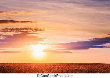 Landscape Of Ripe Wheat Field Under Scenic Summer Dramatic Sky In Sunset