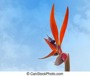 Strelitzia reginae, Bird of paradise crane flower back view...