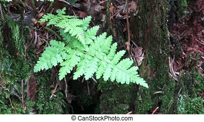 Fern on a stump in a forest. A fern a growing on a tree...