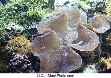 Giant clam (Tridacna gigas) in Okinawa, Japan