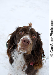 adorable spaniel - springer spaniel dog out in the snow
