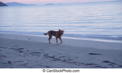 Panning shot of a dog on beach