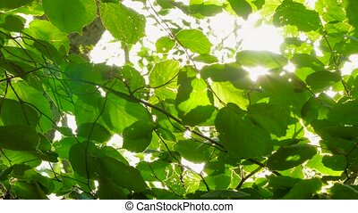 Background of hazel leaves in the wind