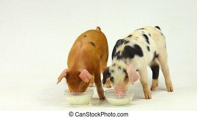pig drink milk on a white background. sound