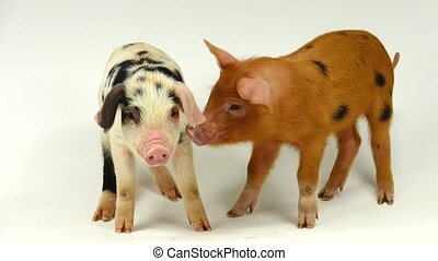 pigs - two pigs on a white background, sound