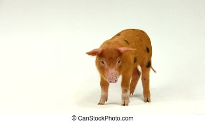 red  pig on a white background, sound