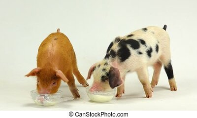 pig which wants to eat from others bowl. sound