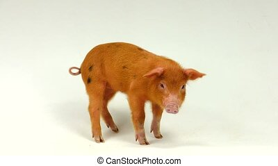 pig - red  pig on a white background, sound