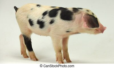 pig on a white background. sound