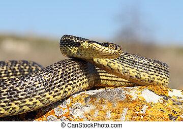Elaphe sauromates ready to strike ( large blotched snake )