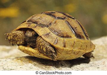 greek turtoise in natural habitat ( Testudo graeca )