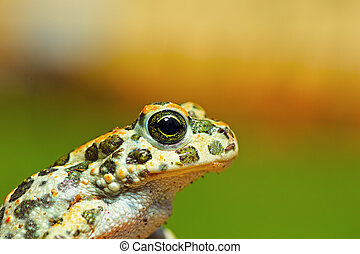 portrait of cute young green toad