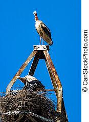 white stork - Beautiful white stork