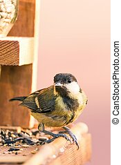 Single male blue tit perched on bird feeder with several...