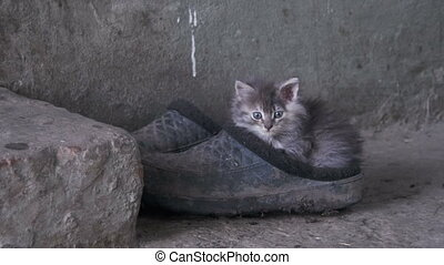 Homeless Gray Fluffy Kitten is Sitting on Shoes in the...