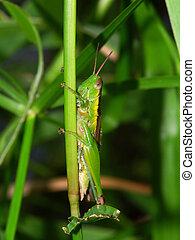 Green Grasshopper - Kuranda, Australia - A Grenn Grasshopper...