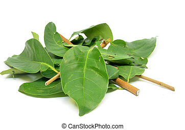 Indonesian Bay Leaf - Daun Salam known as the Indonesian Bay...