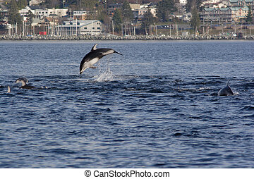 Pacific white sided Dolphin, Lagenorhynchus obliquidens,...