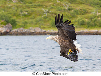 White Tailed Eagle - White tailed eagle in search of prey